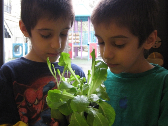 Lettuce growing in Rodef Shalom Preschool