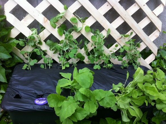 earthbox with peas and radish in Edibe Garden