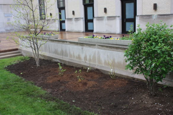 Newly planted blueberries in The Edible Garden at Rodef Shalom